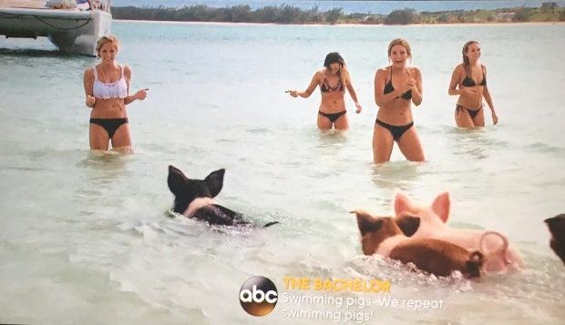 bachelor group date pig island
